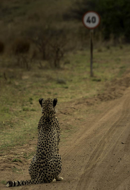 "Cheetah pondering the speed limit... ""Well this sucks!comedy wildlife photography"