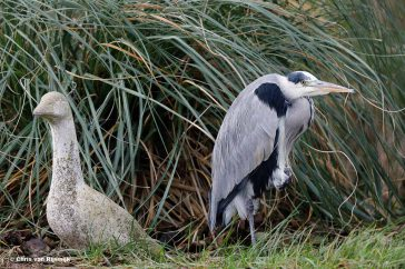 Blauwe_reiger_16_Z9A4811 – NFexport