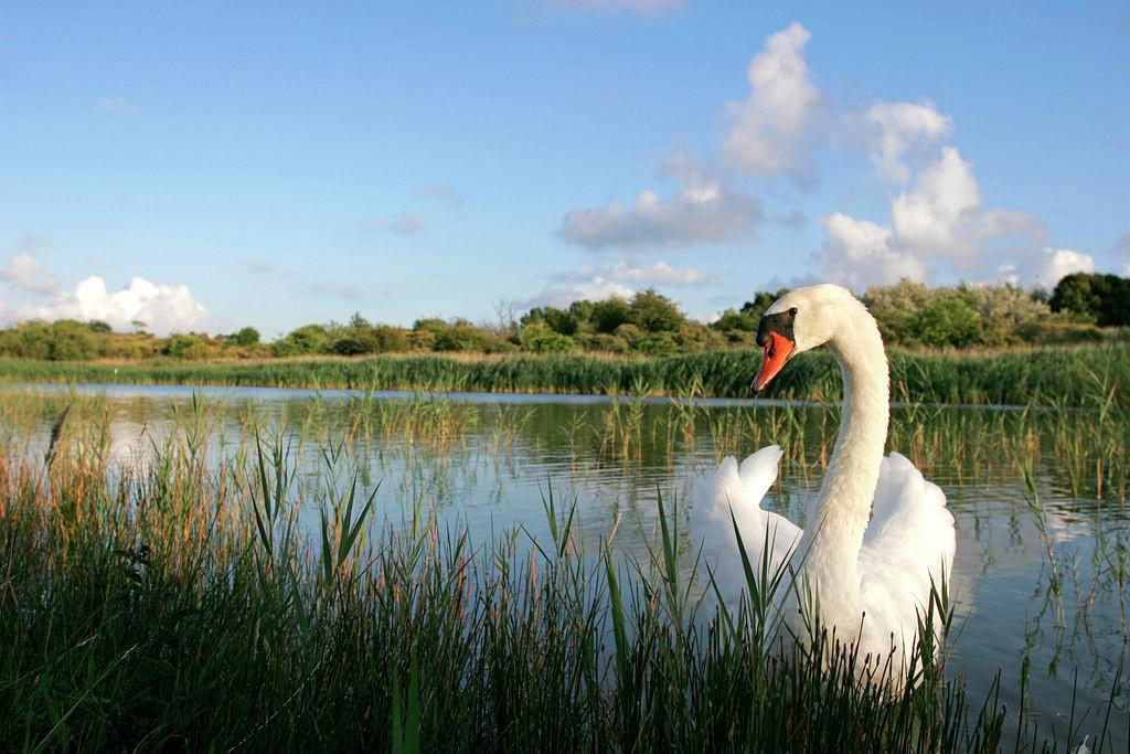 Knobbelzwaan; Mute Swan; cygnus olor