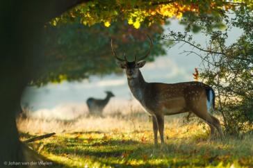 damhert; dama dama; fallow deer