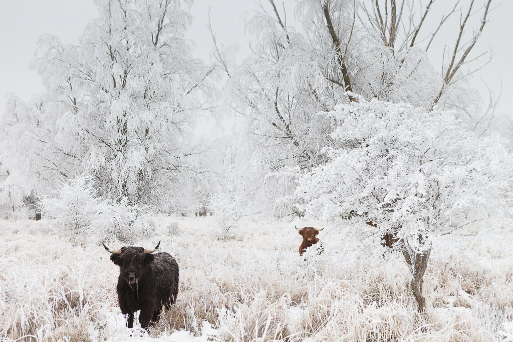 Highlanders in a white winter world - National Park Lauwersmeer - Netherlands
