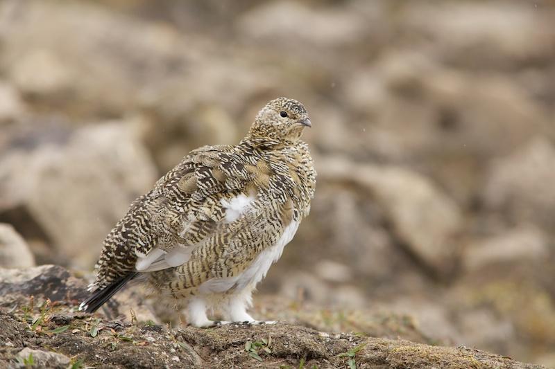 Ook de endemische Spitsbergse ondersoort van het Alpensneeuwhoen laat zich regelmatig in de nederzetting zien.
