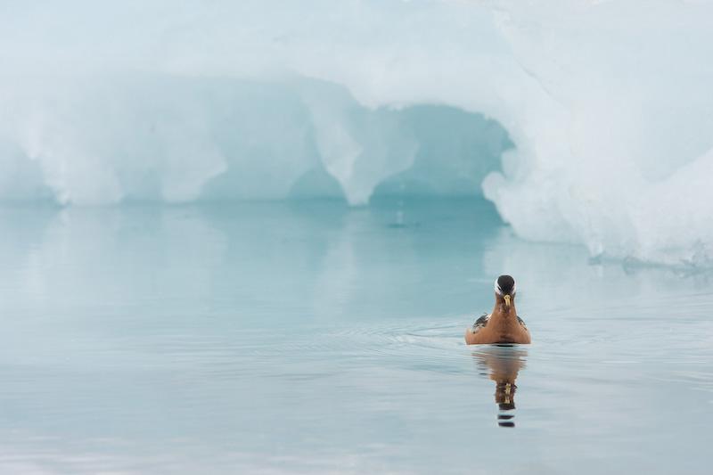 Rosse Franjepoot zwemmend voor een ijsberg
