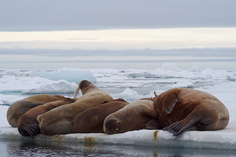 Walrussen luierend op het pakijs.
