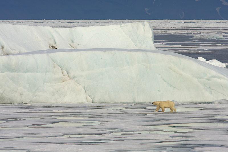 Recente tellingen geven aan dat er meer ijsberen op Spitsbergen leven dan mensen.