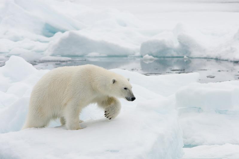 Met een beetje geluk komen de ijsberen dichtbij het schip lopen, een erg veilige manier om mooie berenfoto's te maken.
