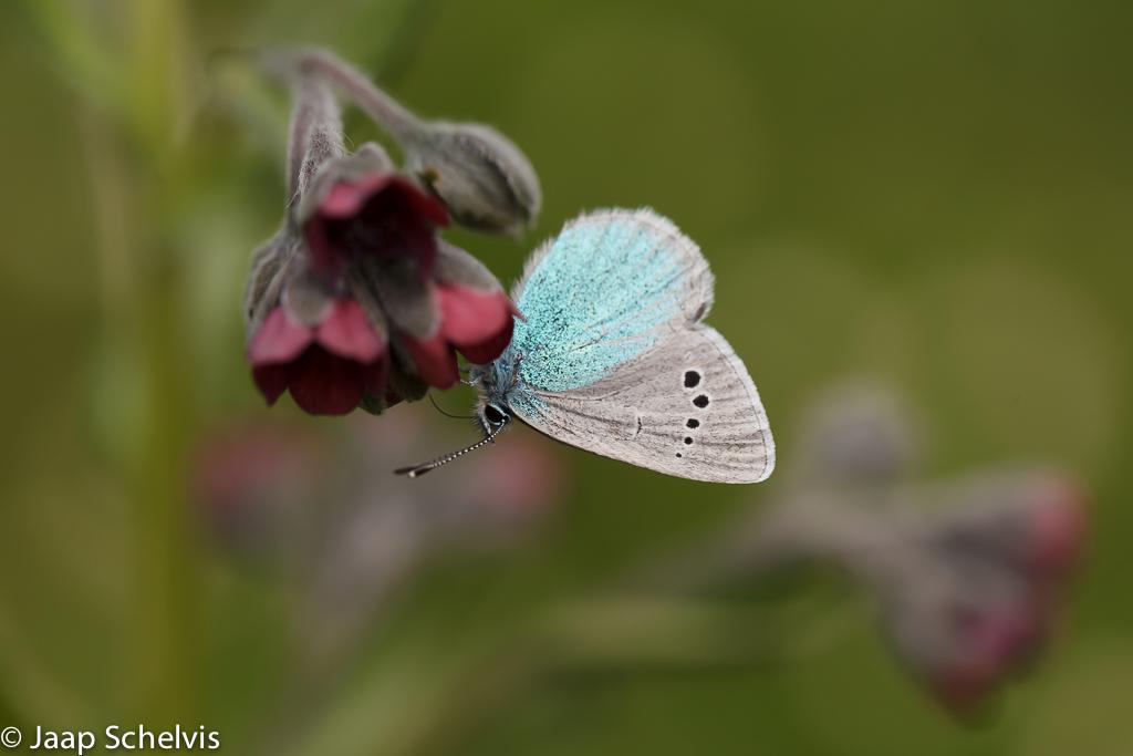 Bloemenblauwtje; Green-Underside Blue; Glaucopsyche alexis