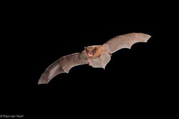 Gewone dwergvleermuis; Common pipistrelle; Pipistrellus pipistre