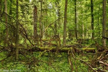 Natuurlijkheid en chaos in het oerbos van Białowieża, Polen