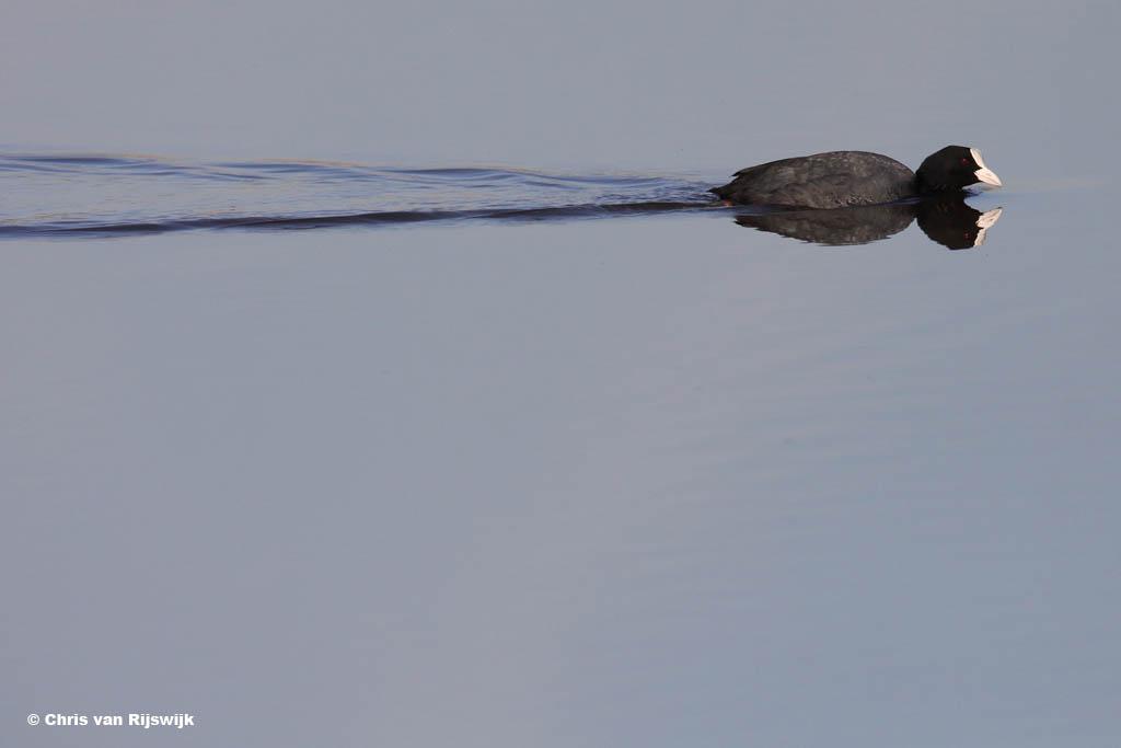 Meerkoet