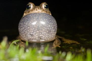 Natterjack Toad (Epidalea calamita) male calling in shallow water