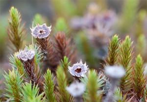 De mannelijke bloemen van Zandhaarmos, de antheridieën - Fotograaf: Arjan Troost