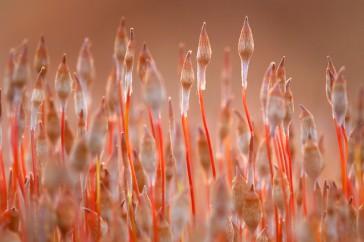 Jonge sporenkapsels van Zandhaarmos zijn in het vroege voorjaar op hun mooist.