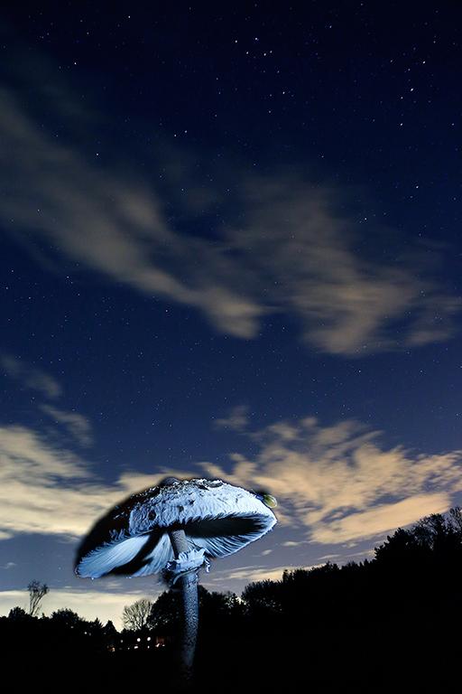 Parasolzwam onder de sterren.