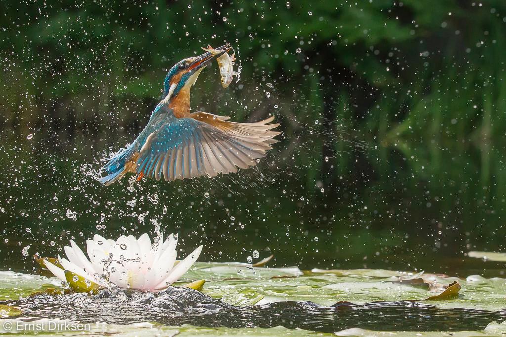 IJsvogel duikt naar vis