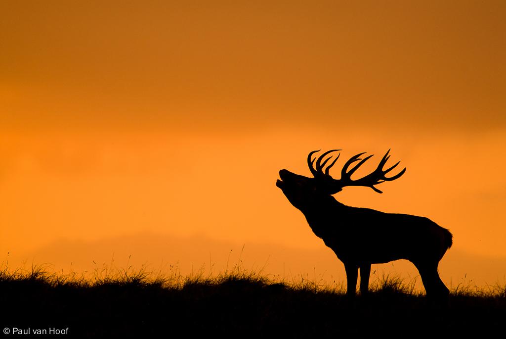 Burlend edelhert met zonsondergang