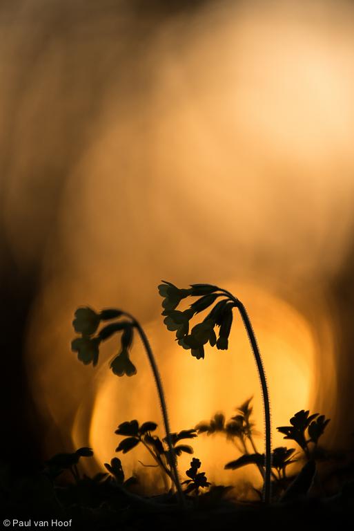 Slanke sleutelbloemen bij zonsondergang
