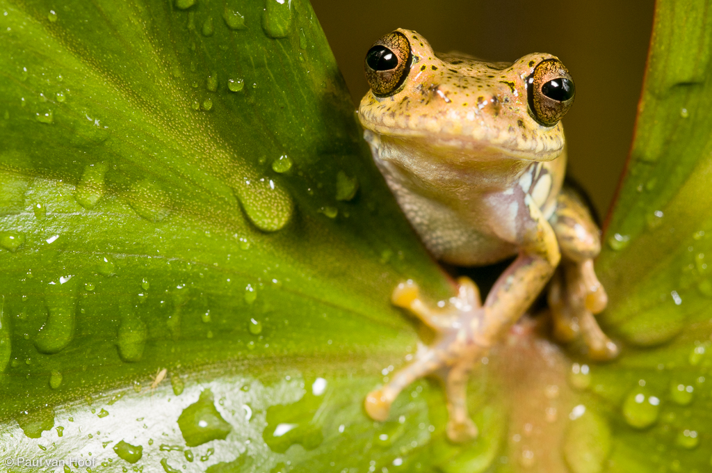 Boophis idae tree frog sitting on a leaf covered in rain drops