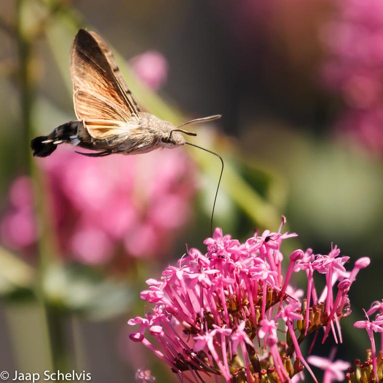 027 6843 Kolibrievlinder - Hummingbird Hawkmoth - Macroglossum stellatarum
