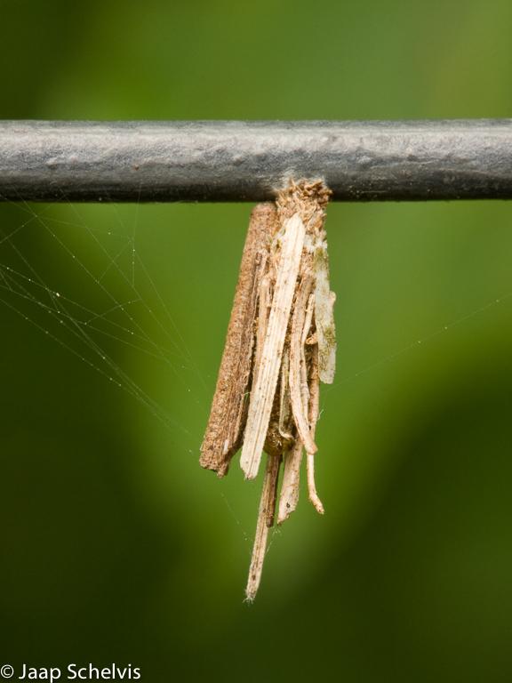 Psychidae, Zakdragers, Bagworm Moth, Psyche casta