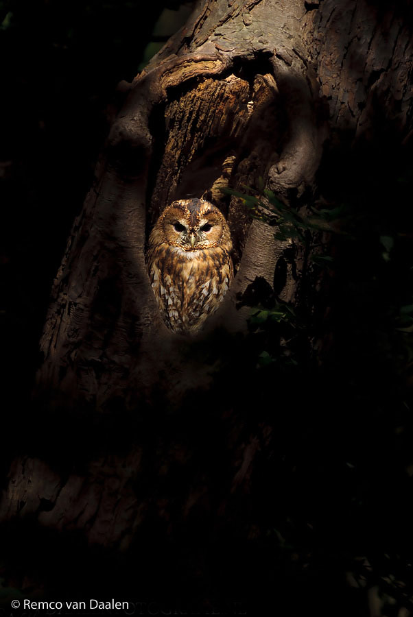 Bosuil Tawny Owl Strix aluco-rvdaalenfotografie3