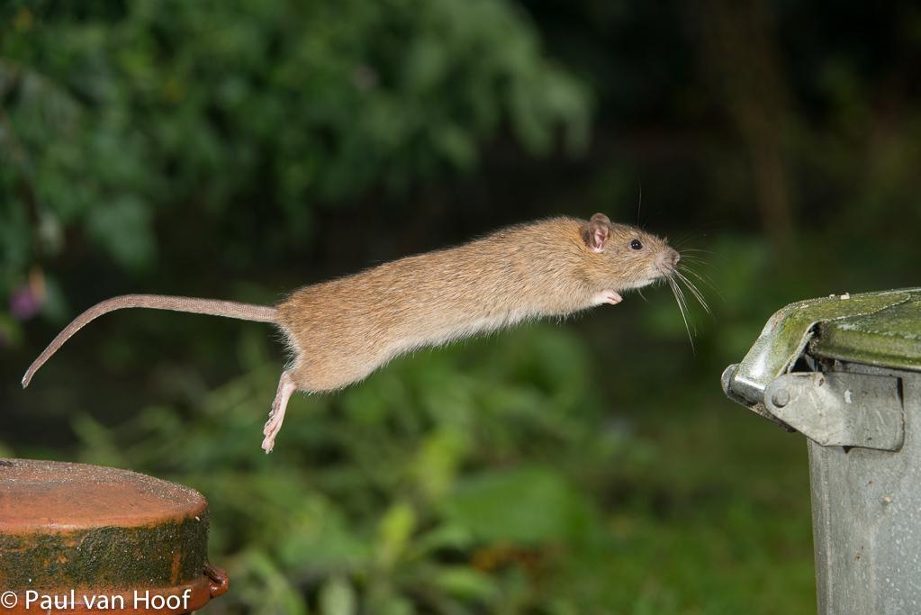 Zolang de rat in het scherpstelvlak springt, is de sprong van begin tot eind scherp.