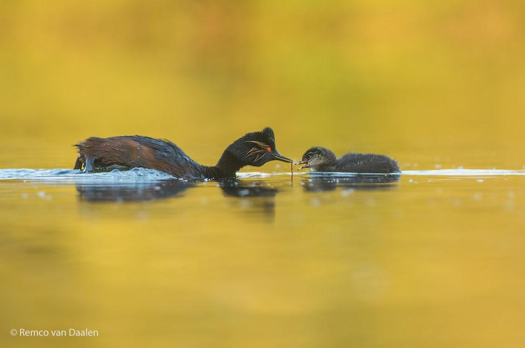 Geoorde Fuut met jonge Black-necked Grebe Podiceps nigricollis rvdaalenfotografie2-