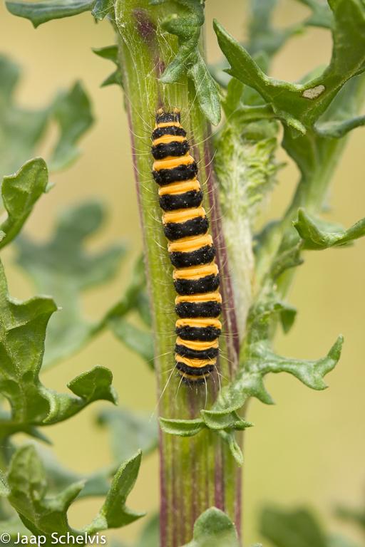 Sint Jacobsvlinder, Cinnabar Moth, Tyria jacobaeae