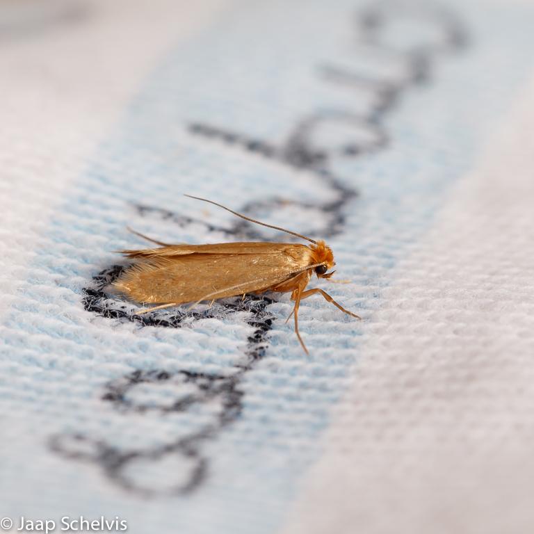Kleermot; Common Clothes Moth; Tineola bisselliella