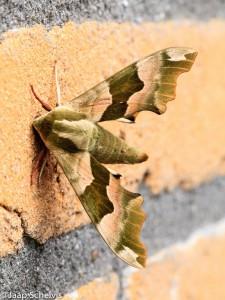 De fraaie lindepijlstaart is slechts één van de honderden soorten nachtvlinders die vrijwel overal in Nederland te vinden is.
