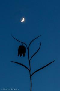 kievitsbloem bij maanlicht - gewoon heerlijk mijn eigen ding doen.
