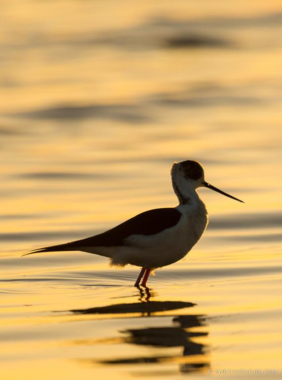 Natuurfotografie.nl april 2015 - vogels in tegenlicht ©Martin Steenhaut-5304
