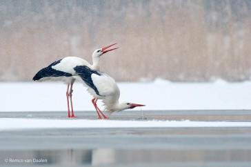Ooievaar White Stork Ciconia ciconia-rvdaalenfotografie1