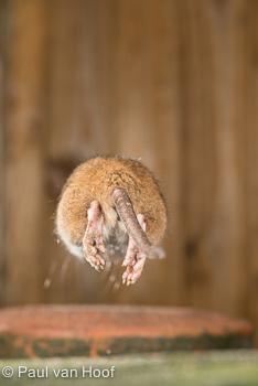 Uiteraard springt een rat niet altijd in de richting die jij kiest.