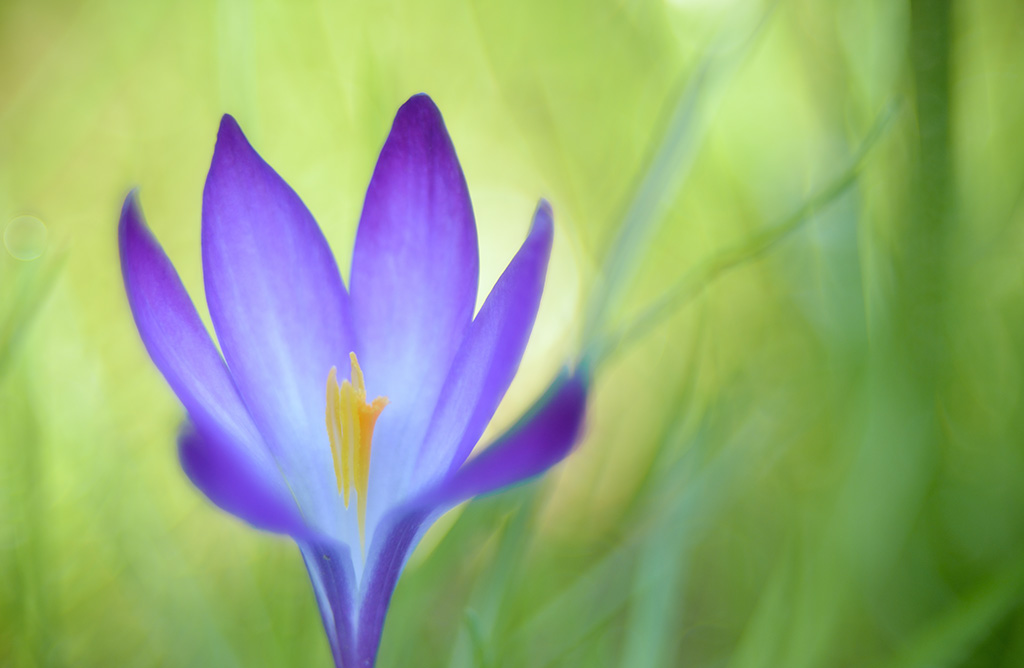 Springtime colours, crocus