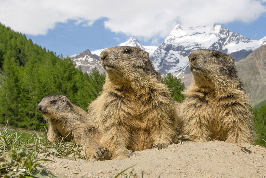 Bergmarmot in landschap