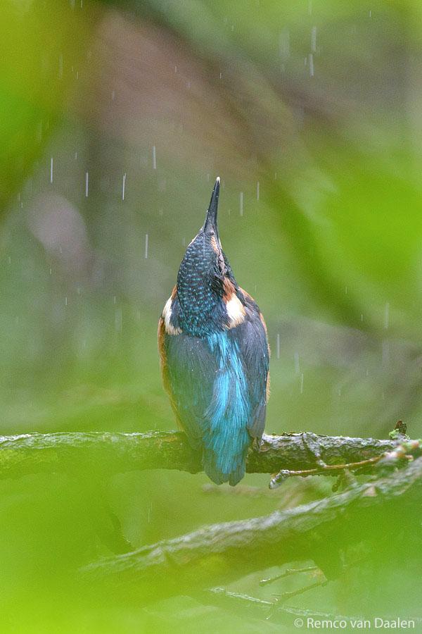 juveniel ijsvogel kingfisher Alcedo atthis-rvdaalenfotografie4