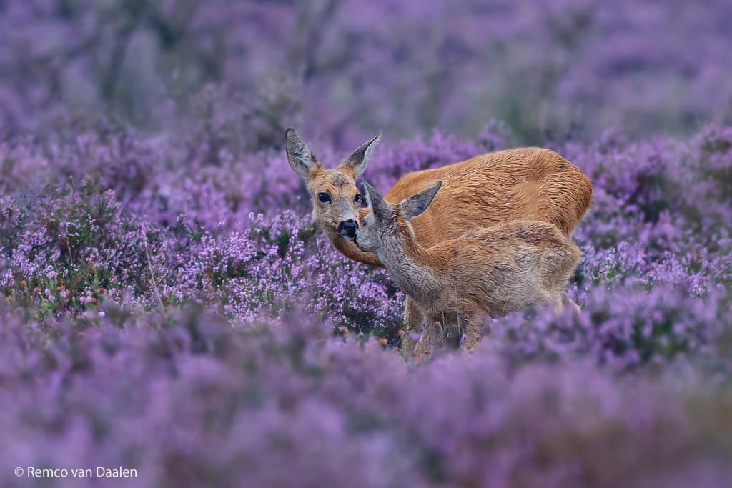 ree roe deer Capreolus capreolus rvdaalenfotografie