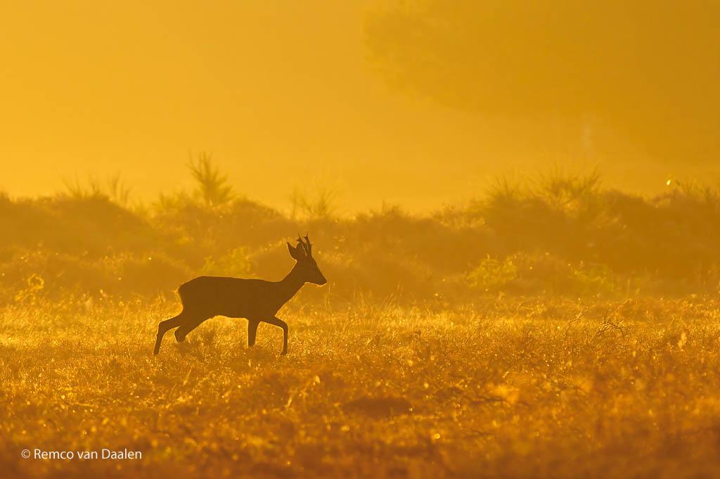 reebok roe deer Capreolus capreolus rvdaalenfotografie
