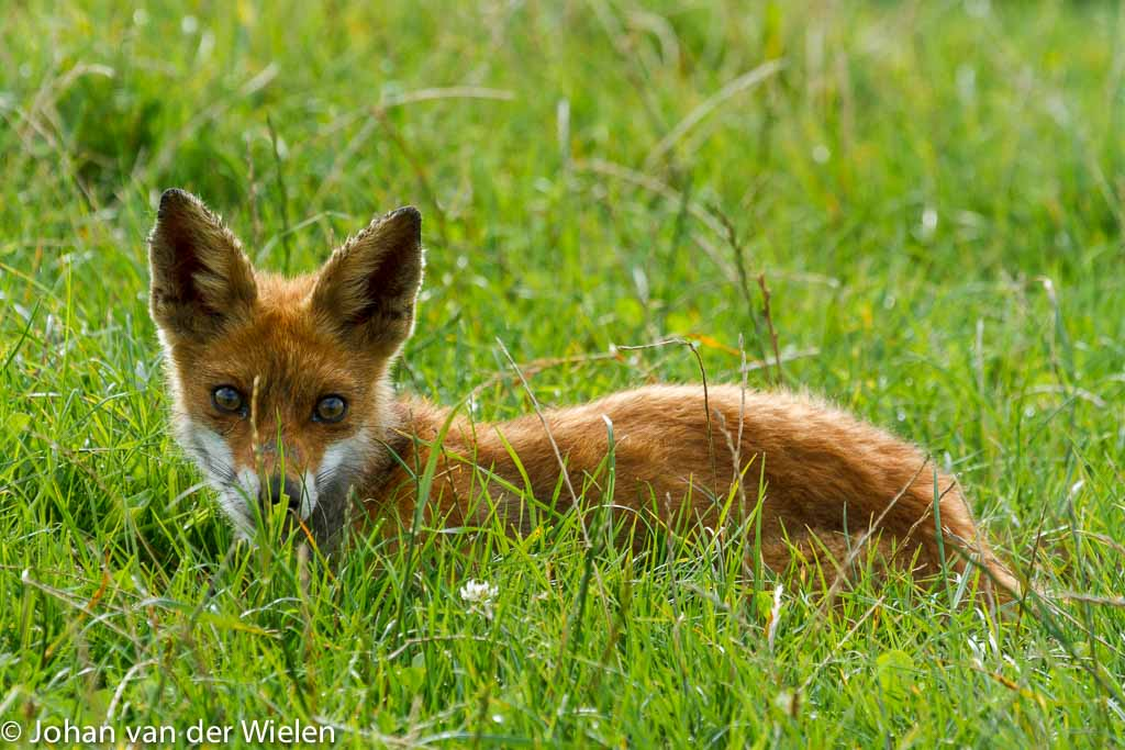Jonge vos ligt heerlijk in het zonnetje, Oostvaardesplasssen; Young fox lies in the sun, Oostvaardesplasssen