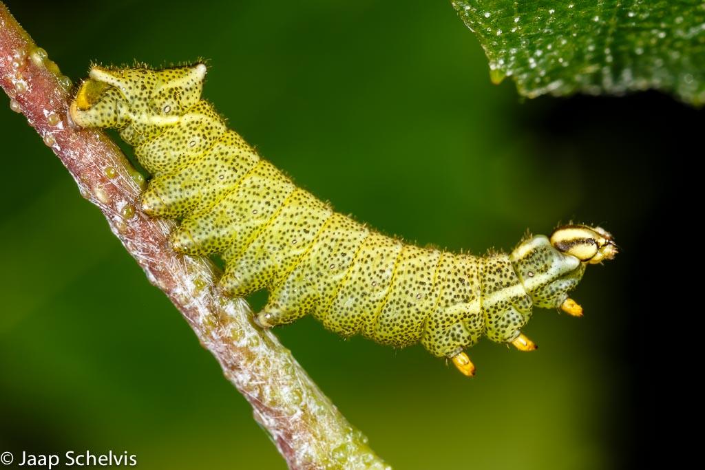 De beweeglijke rups van de gevlamde vlinder (Endromis versicolora) gefotografeerd met behulp van een ringflitser.