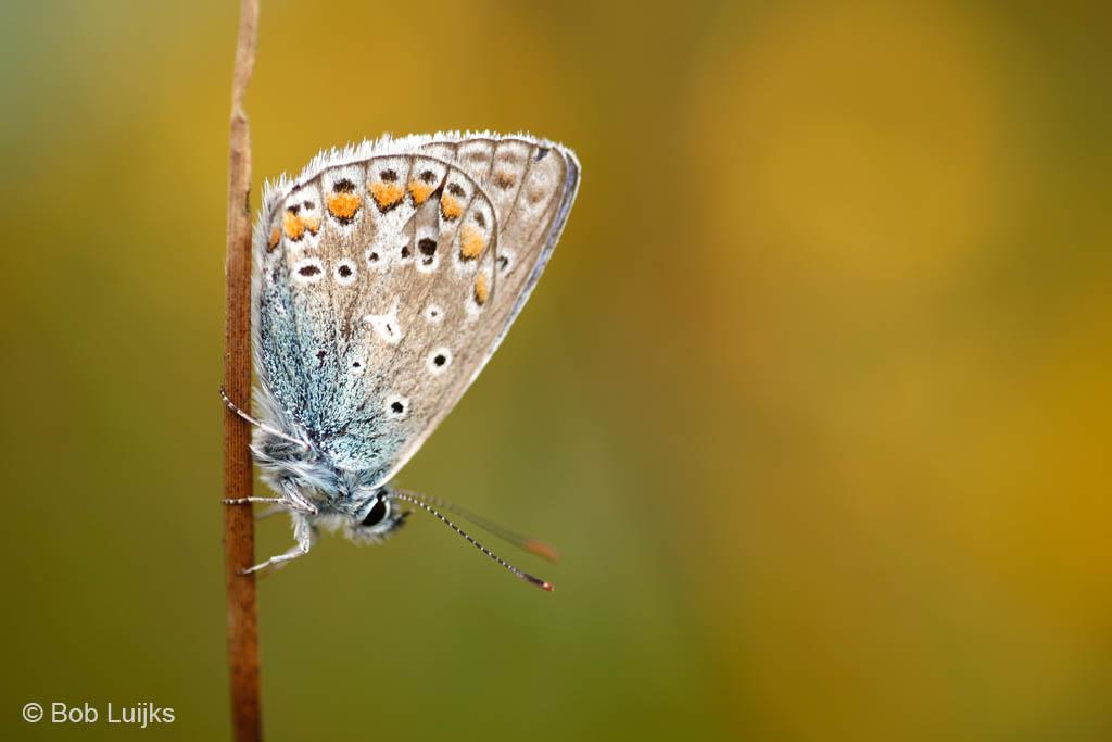 Icarusblauwtjes komen som s in grote aantallen voor, hetgeen de vindbaarheid sterk bevordert.