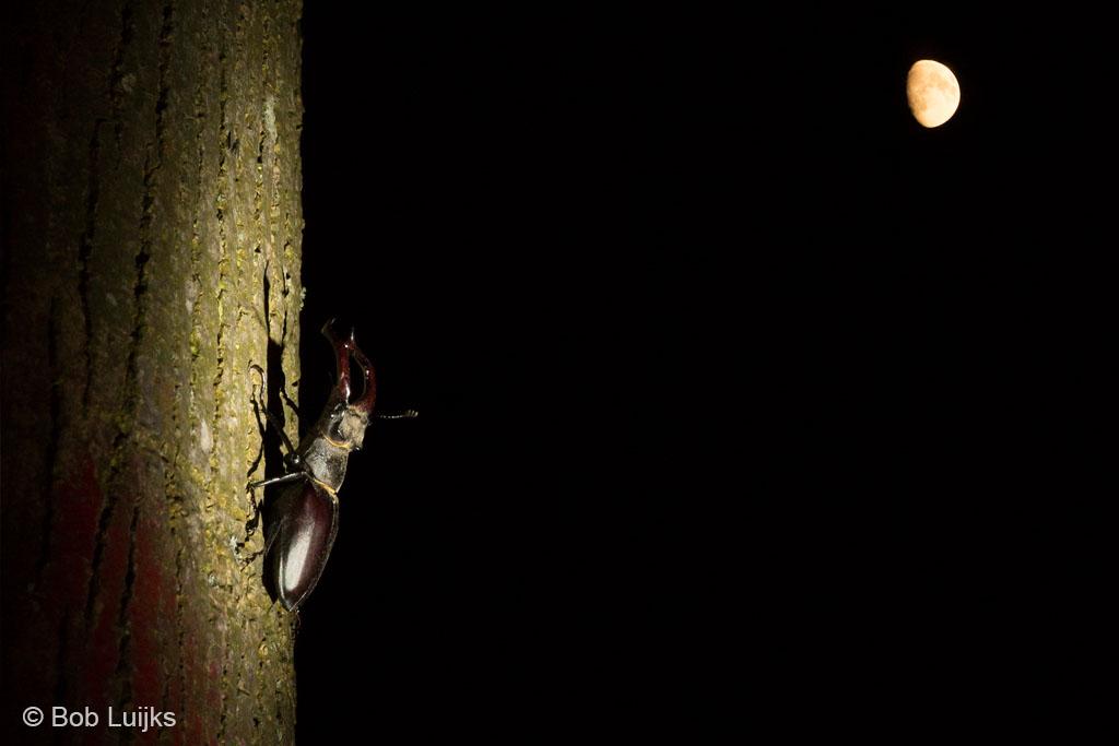 Het vliegend hert komt in de nachtelijke uren tevoorschijn.