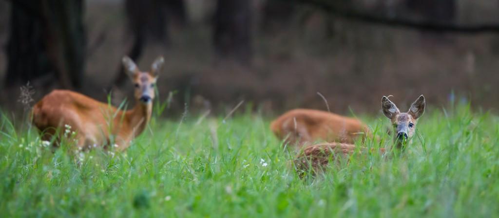 5f951d751e0 Door veel uren bij een weilandje te posten op de Veluwe kwam er eindelijk  een familie reeën op het veld. Deze 'bosreeën' zijn veel schuwer op ...