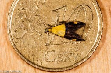 Molmboorder; Oecophora bractella