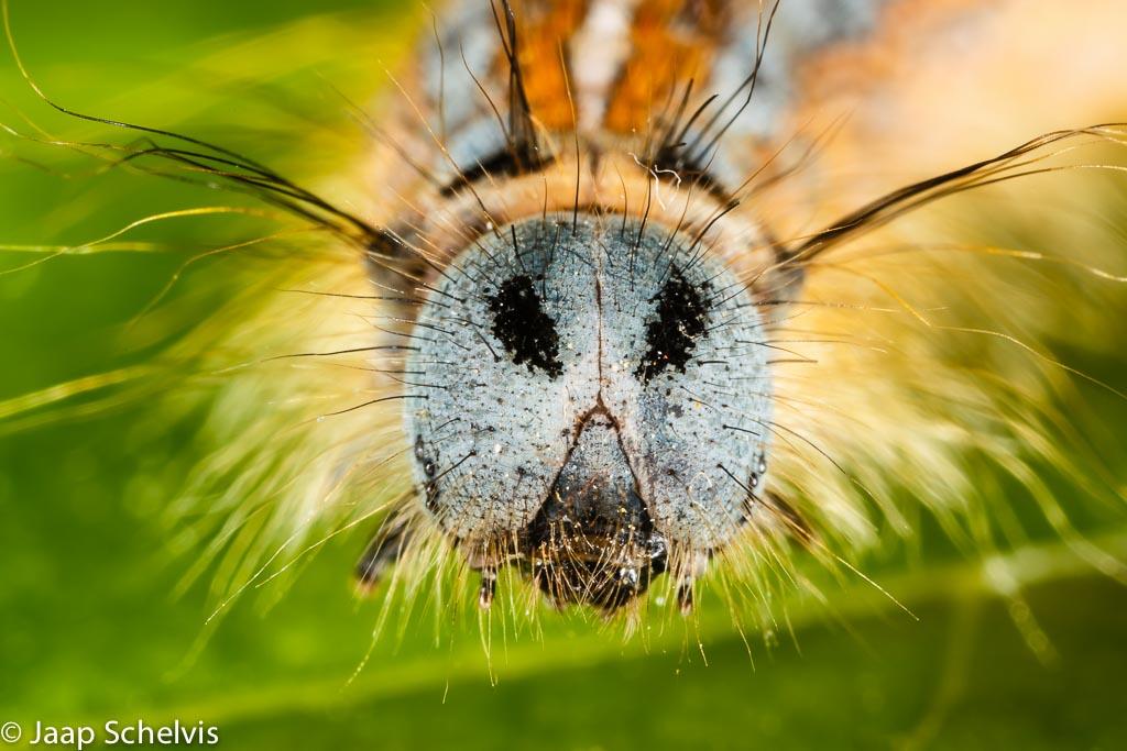 Oog in oog met de Ringelrups. De 'oogvlekken' zijn nep, de eigenlijke oogjes zijn de acht veel kleinere glimmende bolletjes helemaal aan de zijkant van de kop.