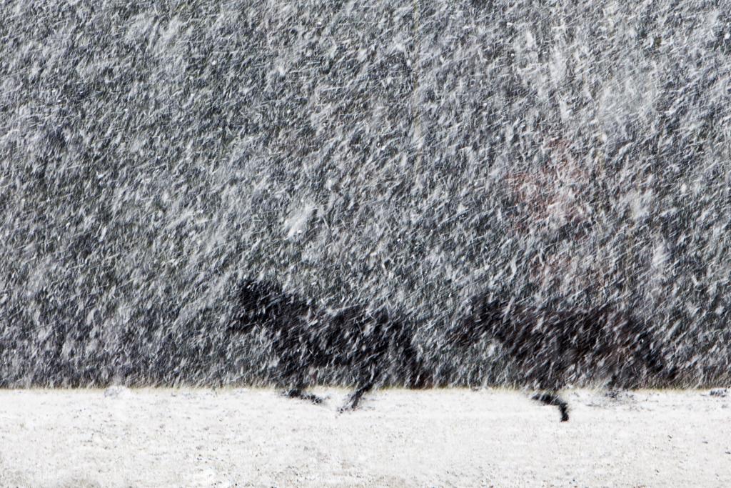 Hollende paarden in een sneeuwbui - Eerste prijs Natuurfotopassie (onderwerp winter)