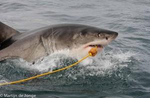 Grote Witte Haai hapt tonijn van voerlijn. Daarbij draaien ze vaak de ogen in de kop weg als beschermingsmaatregel tijdens de aanval. Dit maakt van dichtbij de, onterechte, indruk alsof ze blind zijn.