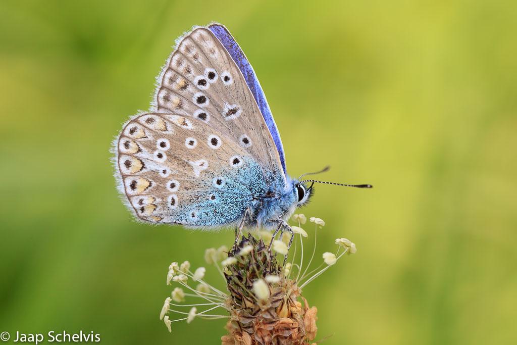 Icarusblauwtje; Common Blue; Polyommatus icarus