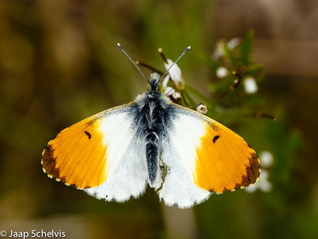 Oranjetipje (Anthocharis cardamines) - Vliegtijd: april - juni - Waardplanten: Pinksterbloem,  look-zonder-look